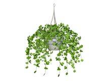Swedish Ivy. Illustration of hanging basket of swedish ivy isolated on white Stock Image