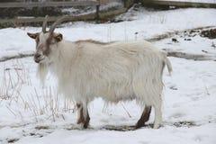Swedish `jamtget` Jamt-Goat Capra hircus. Old Swedish country breed Stock Photos