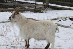 Swedish `jamtget` Jamt-Goat Capra hircus. Old Swedish country breed Royalty Free Stock Photo