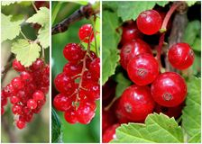 Swedish Lingonberry Collage Royalty Free Stock Photography