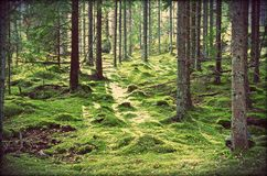 Swedish Magical Forests. Swedens magical forest is like being in a fairy tale story Royalty Free Stock Images