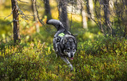 Swedish Moosehound Stock Images