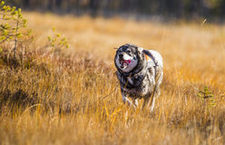 Swedish Moosehound. In the fall hunting season Royalty Free Stock Images