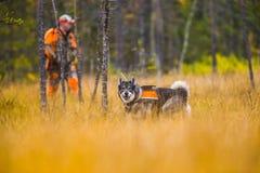 Swedish Moosehound in the fall. Hunting season royalty free stock image