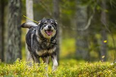 Swedish Moosehound in the fall. Hunting season royalty free stock photo