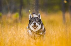 Swedish Moosehound in the fall stock photography