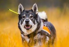 Swedish Moosehound in the fall. Hunting season royalty free stock photos