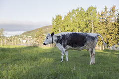 Swedish Mountain Breed Royalty Free Stock Photography