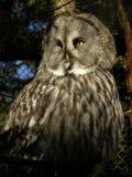 Swedish Owl.  Stock Image