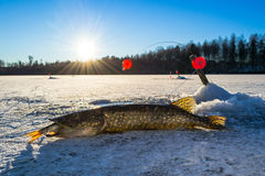 Swedish pike fishing from ice Stock Photos