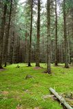 Swedish Pine Forest. Pine forest with mossy floor in Sweden stock photography