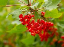 Swedish red berries. In Jämtland Royalty Free Stock Photography