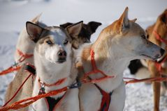 Swedish Sled Dogs Stock Images