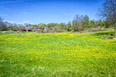 Swedish spring field with dandelions Royalty Free Stock Photo