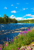 Swedish summer nature. Swedish river with colored flowers and beautiful sky Royalty Free Stock Photography