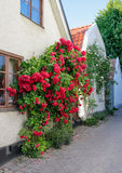 Swedish town Visby, famous for its roses Stock Photo
