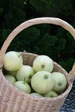 Swedish Transparent Blanche apples in basket Stock Photo