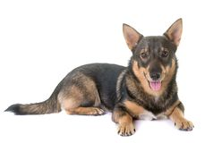 Swedish Vallhund in studio. Swedish Vallhund in front of white background Royalty Free Stock Photography