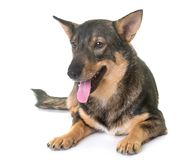 Swedish Vallhund in studio. Swedish Vallhund in front of white background Stock Image