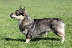Swedish Vallhund. The typical Swedish Vallhund in the garden Stock Photo