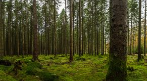 Swedish woods with Green Moss. Dark Forest with Moss Stock Photos