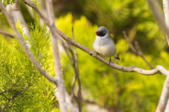 Swee Waxbill Royalty Free Stock Images