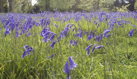 A sweep of Bluebells Royalty Free Stock Image