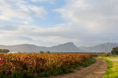 A sweeping road next to an autumn vineyard. An autumn vineyard landscape with a sweeping gravel road and hazy mountains in the background at sunrise, Western Stock Photos