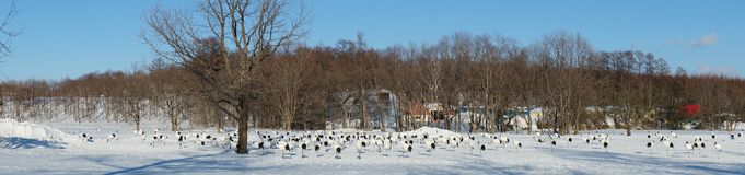 Sweeping View of Cranes. A Sweeping View of a Group of Cranes n the Snow stock photography