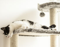 Sweepy - being bored. This image shows a cat called Sweepy looking into the camera royalty free stock photos