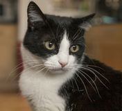 Sweepy, the white and black cat, a stare. Stock Photos