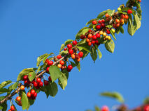 Sweer cherries Royalty Free Stock Photo