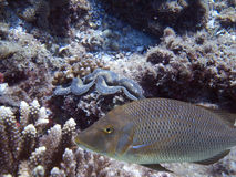Sweet. Spotted Sweetlip (Pomadasys argenteus) swimming over coral reef Stock Images
