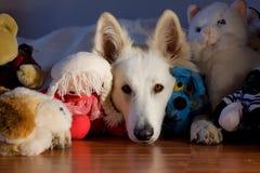 Sweet. Swiss white shepherd dog is sleeping close to toys Stock Photos