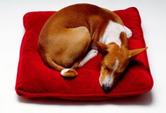 Sweet. Basenji sleeping on red pillow royalty free stock image