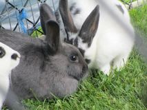 Sweet adorable grey and white bunny rabbits from a petting zoo Stock Image