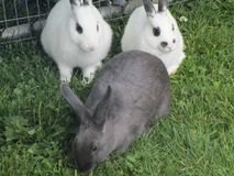Sweet adorable grey and white bunny rabbits from a petting zoo Stock Photo