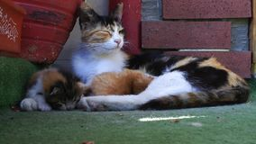 Sweet Adorable Kitty Cat Pet Mammal Animal stock video footage
