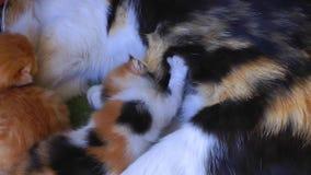 Sweet Adorable Kitty Cat Pet Mammal Animal stock footage