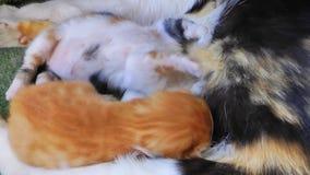 Sweet Adorable Kitty Cat Pet Mammal Animal stock video
