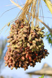 Sweet african dates Royalty Free Stock Photos
