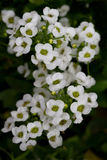 Sweet Alyssum Stock Image