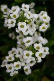 Sweet Alyssum. White Sweet Alyssum (Lobularia maritima Stock Image