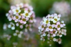 Sweet Alyssum flower. Closeup chot of Sweet Alyssum flower, nice flower background.Shallow DOF Royalty Free Stock Images