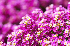 Sweet alyssum flowers. Magenta and white sweet alyssum flowers. An image of Spring Royalty Free Stock Photos