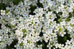 Sweet Alyssum Royalty Free Stock Images