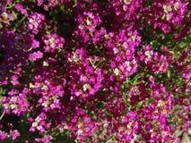 Sweet alyssum, Sweet alison, Lobularia maritima Stock Images