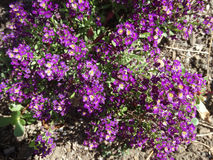 Sweet alyssum, Sweet alison, Lobularia maritima Royalty Free Stock Photos