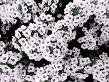 Sweet-alyssum in white. Close-up of a white sweet-alyssum with selective coloring stock images
