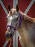 Sweet Appaloosa Mare Stock Image